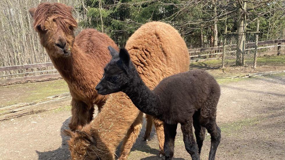 Das kleine Alpaka-Fohlen erkundet schon eifrig sein Gehege.