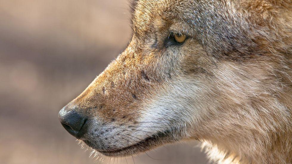 Tschechoslowakische Wolfhunde sehen dem echten Wolf (hier im Bild) zum Verwechseln ähnlich.